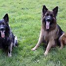 German Shepherd for calender 2013 j by Heidi Mooney-Hill