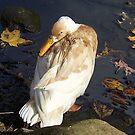 Peeking Duck by Monnie Ryan