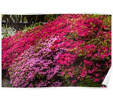 Azaleas at the Rhododendron Gardens in the Dandenongs Poster