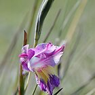 Gladiolus carinatus  by Richard Adcock