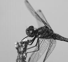 Dragon Fly by jean-louis bouzou