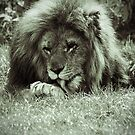 Lion by Colin Shepherd