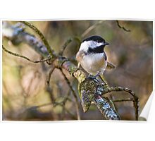 Black Capped Chickadee - Amherst Island, Ontario Poster