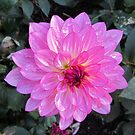 My favorite dahlia 2012 by bubblehex08