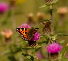 small tortoiseshell butterfly by Jon Lees