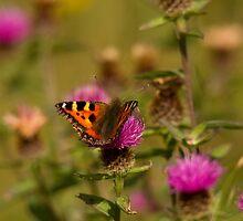 small tortoiseshell butterfly by Jon Lees