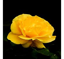 Golden Yellow Rose Isolated on Black Background Photographic Print