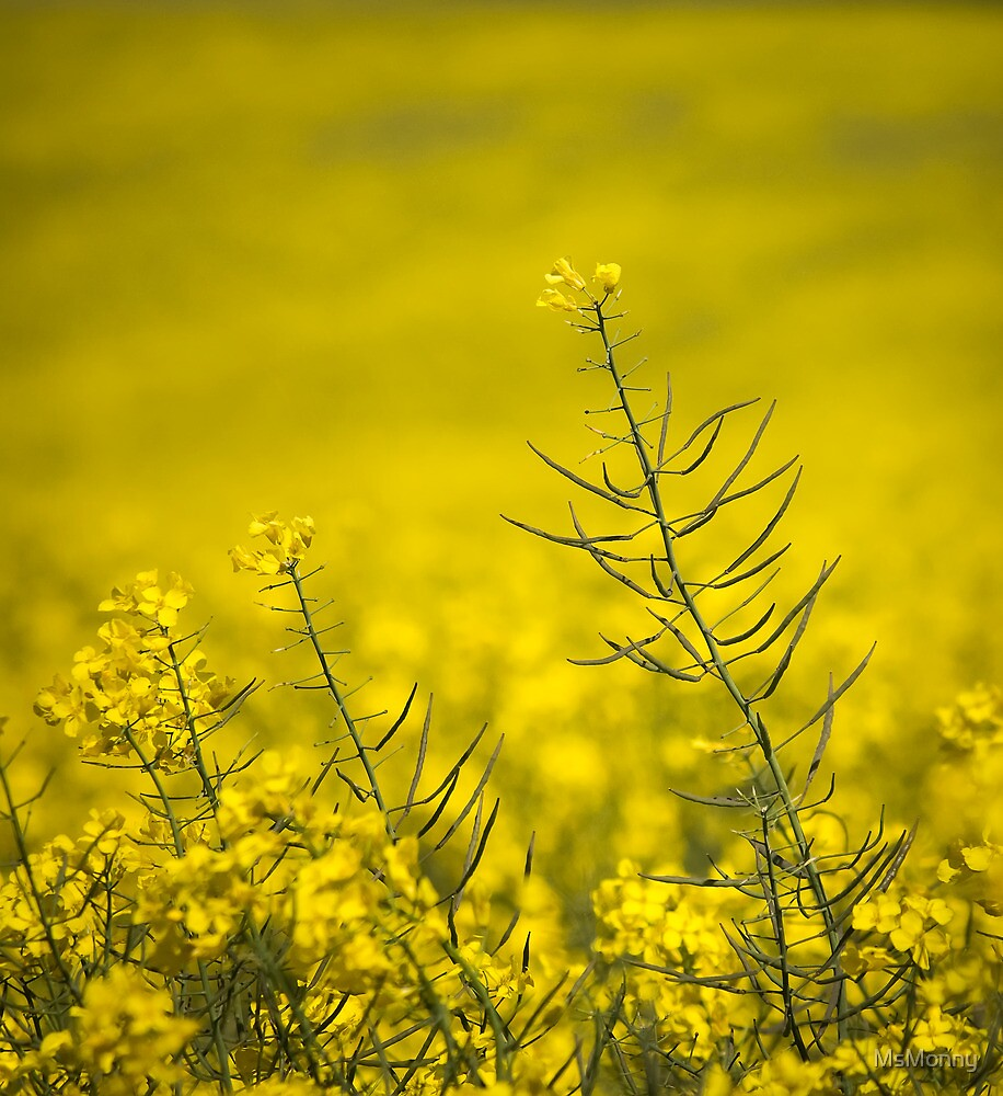 Golden Canola by Monika Bauer