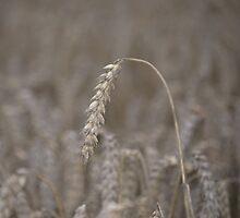 Ripened Barley by Nigel Bangert
