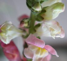 Snapdragon by Onehun