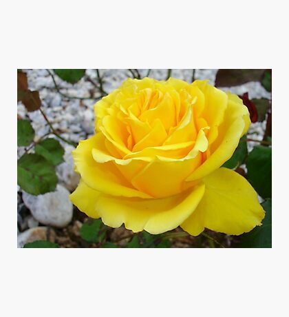 Beautiful Yellow Rose with Natural Garden Background Photographic Print