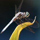 Blue Dasher Dragonfly Iphone Case by DARRIN ALDRIDGE