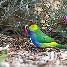 Red Capped Parrot by mncphotography
