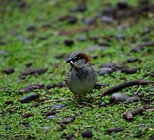 Little Sparrow by Bami