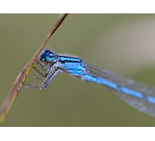 Blue Damselfly Photographic Print