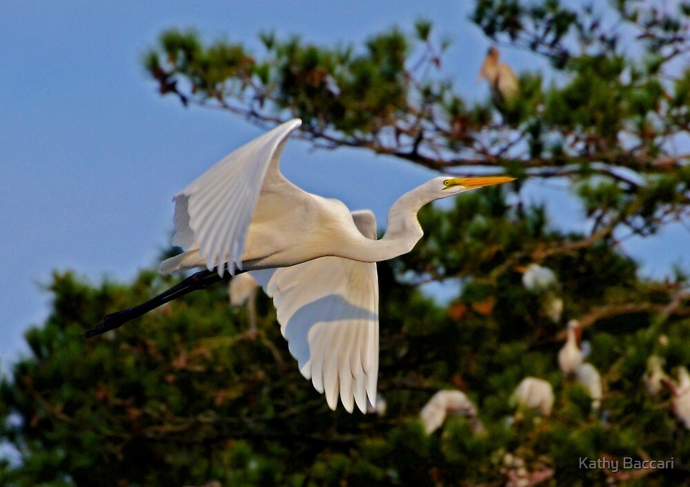 Great White Egret Takes Flight by Kathy Baccari