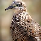 Zebra Dove by Ticker