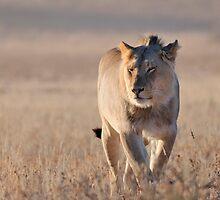 Lion by jeff97