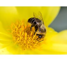 Bumble Bee on Yellow Flower Photographic Print