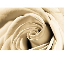Creamy Rose Photographic Print