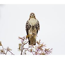 Redtail Hawk Photographic Print