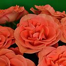 Orange Roses  by Steve
