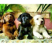 Labrador Retriever Pups Trio Photographic Print