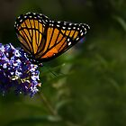Monarch Butterfly by onyonet photo studios