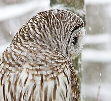 Barred Owl in Snow by michelsoucy