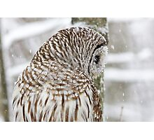 Barred Owl in Snow Photographic Print