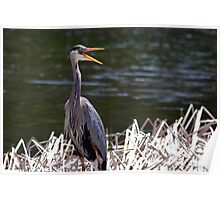 A happy Great Blue Heron Poster