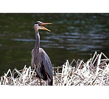 A happy Great Blue Heron Photographic Print
