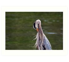 Great Blue Heron with an itch. Art Print