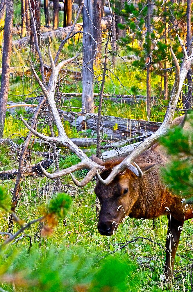 Young Elk by Conner Lundeen
