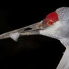 Sandhill Crane Close Up Portrait by John Absher