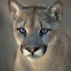 Cougar by venny