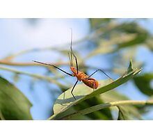 Milkweed Assassin Bug Photographic Print
