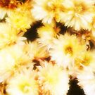 Golden Michaelmas Daisies by mimulux
