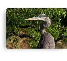 Great Blue Heron profile Canvas Print