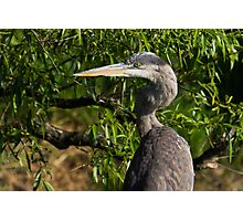Great Blue Heron profile Photographic Print