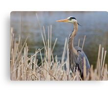 Great Blue Heron in the reeds Canvas Print