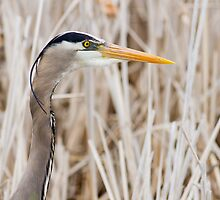 Great Blue Heron - head shot by michelsoucy