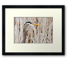Great Blue Heron - head shot Framed Print