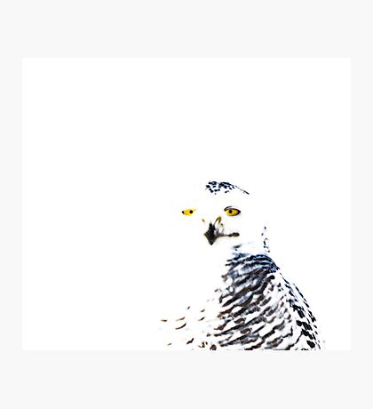 Snowy Owl on White Photographic Print