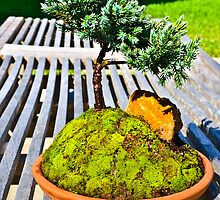 BONSAI.. by buddybetsy