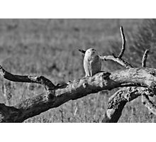 Snowy Owl asleep on a branch Photographic Print