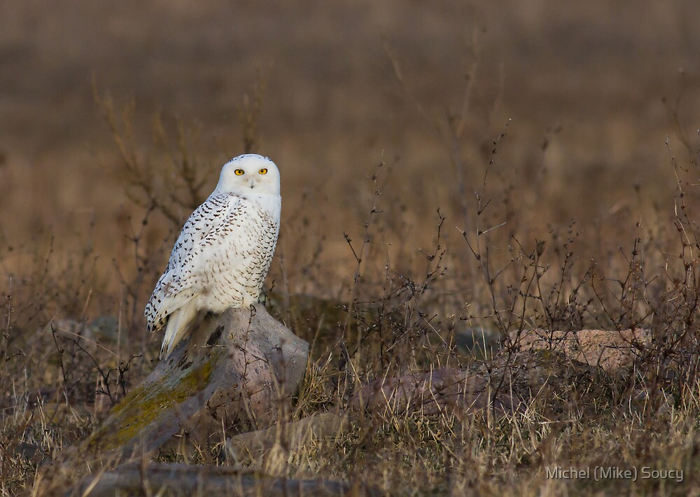 Snowy Owl on a Rock by michelsoucy