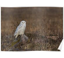 Snowy Owl on a Rock Poster