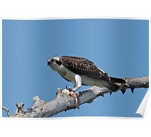 Osprey with Bullhead Poster