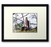 Red Shouldered Hawk with recent prey Framed Print